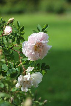 Rosa 'Claus Groth' Arboretum Volčji Potok