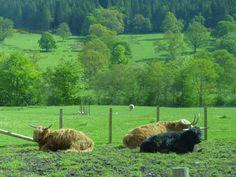 Highland Cows @ Stirling Scotland  Photo taken by Yasemin Onal #scotland #castle #scottish #stirling #nature #bestoftheday #cows #highlands #animals