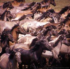 A Whole Wapum of Wild Mustangs!