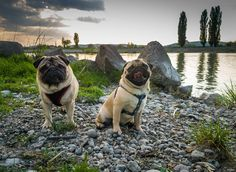 Today we took a long walk by the river and enjoyed the nature  #mauricethepug #bubble #bubblethepug #queenb #earthday #river #longwalk #nature #muresriver #mures #tirgumures #romania #sunny #sun #weekend #puglife #pugchat #pugstory #pug #mops #dog #puppy