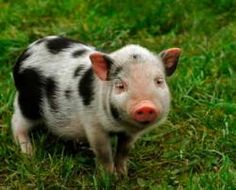 What to expect from a pet pig and how to care for it. Helpful info from webvet.com
