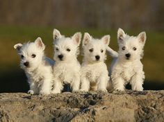 West Highland White Terrier Puppies by GwenDy