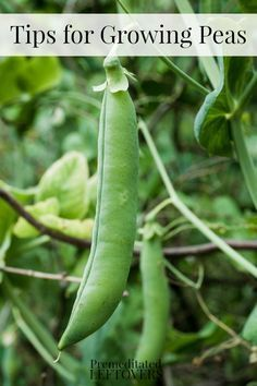 Hydroponic Gardening Tips for Growing Peas in Your Garden: How to grow peas from seed, how to transplant pea seedlings, how to care for pea plants, when and how to harvest peas. Plants, Organic Gardening, Fruit Garden, Growing Food, Growing Peas, Gardening For Beginners, Hydroponic Gardening, Growing Fruit, Growing Cucumbers