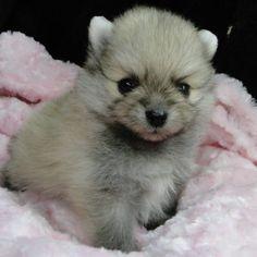 Patton - pupper AKC Pomeranian for sale in Greenville, Georgia Pomeranian Puppy For Sale, Cute Pomeranian, Cheap Puppies, Puppies For Sale, Pet Dogs, Dog Cat, Pets, Puppy Litter, Pet Steps