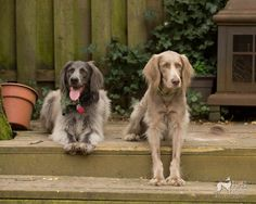 Two long-hared weimaraners, blue and gray ghost