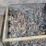 The NSW Aquaculture Association is holding a yabby & fish farming field day at Griffith NSW in March 2015. We will be covering extensive yabby and fish farming with the focus on increasing farm incomes and increasing the value of existing water from farm dams and irrigation channels.