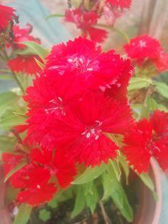 Clavelina roja 😍😍👌💕🌸