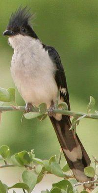 Jacobin Cuckoo.