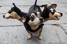 Three headed Chihuahua Halloween costume.