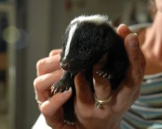 skunk Found North America