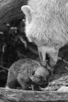 Wolf Mother and Pup--Wolves Photo
