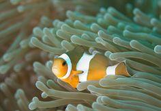 Clownfish   by blakecorcoran
