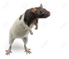 standing on hind legs: Fancy Rat standing up in front of white background