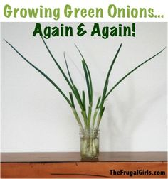 Growing Green Onions... Again and Again! ~ from TheFrugalGirls.com {this simple trick is so easy, and it really works!} :)  #thefrugalgirls