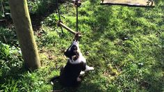 Border collie puppy playing with a rope swing in the sun https://www.youtube.com/watch?v=GLR-f5uFULQ