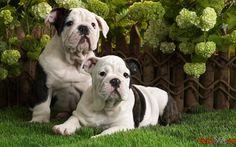 Baixe fotos grátis de cães