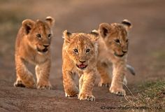 3 Lion Cubs The leader of the pack. by Austin Thomas on Lion Pictures, Cute Animal Pictures, Amazing Pictures, Baby Animals Super Cute, Cute Animals, Beautiful Cats, Animals Beautiful, African Animals, Baby Animals