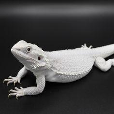 16 Best Bearded Dragon Breeders images in 2019 | Bearded