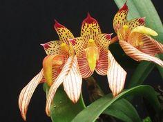 Bulbophyllum Breviscapum