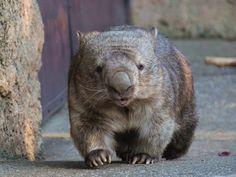 Cute Wombat, Quokka, Cute Creatures, Potato, Pouch, Australia, Bear, Sweet, Dogs