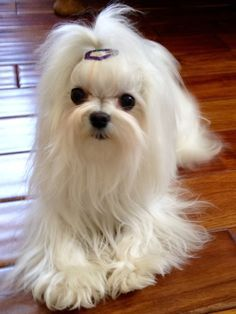 Cutest Long Haired White Dog Maltese Dogs Maltese Puppy White Dogs