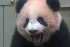 Even when a Panda is angry it's still Cute Panda Day, Panda Love, Cute Panda, Panda Panda, Panda Bears, Animals And Pets, Cute Animals, Funny Animals, Types Of Pandas
