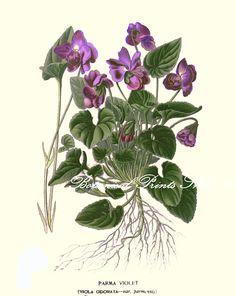 Botanical Print. Parma Violet. Violets by BotanicalPrintsShop