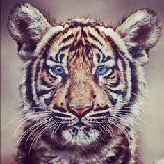 tiger tiger, you are so purrrfect