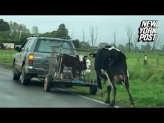Disturbing video has surfaced of a female cow in New Zealand reportedly chasing after her calves, while the offspring are being taken away in a truck. Female Cow, Her Calves, Stop Animal Cruelty, New York Post, Animal Welfare, Animal Rights, Pets, Youtube, Animals