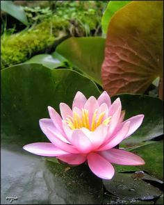 Water lily- my birthday flower :)