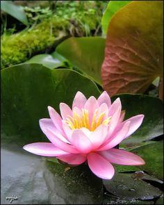 Water lily- my birthday flower :)