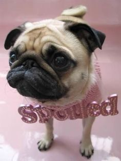 Who would put that on a pug? Pugs should be spoiled. They are cuteness overload.