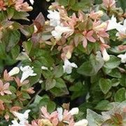Abelia chinensis (Chinese abelia)  Click image to learn more, add to your lists and get care advice reminders each month.