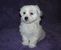 Havanese Puppies For Sale, Maltese, Dogs, Animals, Animales, Animaux, Pet Dogs, Doggies, Animal