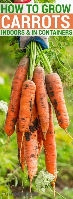 Can you grow carrot indoors Yes, you can. Learn how it easy it is to grow carrots indoors and the benefits of growing carrots too. these tips and you will be growing carrots in containers in no time! Indoor Vegetable Gardening, Home Vegetable Garden, Organic Gardening, Hydroponic Growing, Hydroponic Gardening, Hydroponics, Growing Carrots, Growing Vegetables, Gardening For Beginners