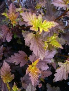 Amazon.com : Ninebark Center Glow: Well Established: Container Size: #2 : Shrub Plants : Patio, Lawn & Garden