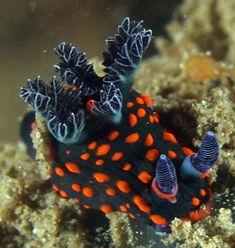 The Sea Slug Forum - Nembrotha spp?