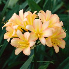 Clivia miniata,  (Ansie Pink x Wittig Pink) x sibling.  Colorado Clivia's plant number 2351C.