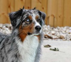 The Aussie Weekly #79 — The Weekly Special Feature for Australian Shepherd Lovers — Photo: Perry Lopez, Aussie: Pistol
