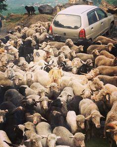 山で出くわしたひつじやヤギの群れ。 すごい数です! しばらくこの群れの移動が続きました。 #インド #北インド #山 #ヤギ #ひつじ #群れ #india #northindia #mountains #goat #sheep #flock