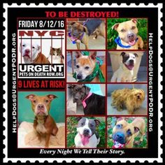 "9 BEAUTIFUL LIVES TO BE DESTROYED 08/12/16 @ NYC ACC. ***ACC is continuing to Clear the Shelter*** This is a HIGH KILL ""CARE CENTER"". Too many great dogs put down daily! Babies, puppies, mamas, healthy, friendly dogs. POOR LIVING CONDITIONS & MINIMAL CARE. Please Share! Click for info & Current Status :"