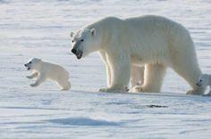 """Who's a big, tough polar bear? That's right - you are!"""