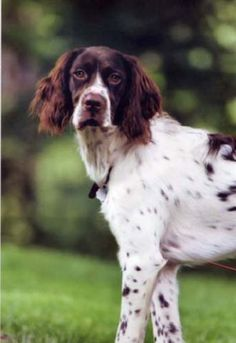 French Spaniel. Eager to please and can be trained easily. #DogBreeds