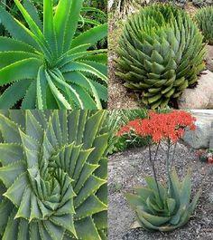 Aloe species mix 25+ Seeds Whish Seeds https://www.amazon.ca/dp/B01IX351FO/ref=cm_sw_r_pi_dp_x_GwEtzbSXVD8A6