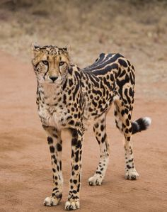 In the king cheetah, spots coalesce into large blotches, and stripes develop on the animal's back. Description from greatcatsoftheworld.wordpress.com. I searched for this on bing.com/images
