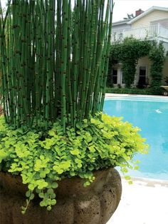 Horsetail and creeping jenny - very compatible, they both like it wet. This kind of plant combination is fairly easy to maintain because it doesn't need a drain hole in the pot and you can fill it with many days worth of water, even in hot weather.