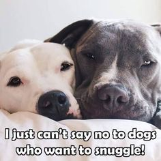 Pit Bulls love to snuggle