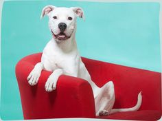 'Pics of the Litter' photoshoot by brighton agency in st louis to get more exposure to adoptable dogs!  too cute!