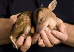 Funny pictures about Just In Case Your Day Needs More Baby Deer. Oh, and cool pics about Just In Case Your Day Needs More Baby Deer. Also, Just In Case Your Day Needs More Baby Deer photos. Cute Baby Animals, Animals And Pets, Funny Animals, Wild Animals, Newborn Animals, Newborn Babies, Top 10 Cutest Animals, Foster Animals, Cutest Pets