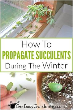 Learn how to propagate succulents in the winter with my easy how-to guide. It walks you through succulent plant propagation step by step. Whether you're interested in propagating cuttings, stems, or leaves, it can be done easily in the winter with my simple method that requires no special tools or supplies. In addition to getting new growth on your cuttings, I'll also share tips on baby succulent care, so you can plant them with confidence that they'll grow into healthy, established plants. Baby Succulents, Propagating Succulents, Plant Propagation, Planting Succulents, Cuttings, Organic Vegetables, Growing Vegetables, Gardening For Beginners, Gardening Tips